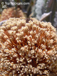 Banksia petiolaris, Banksia  Click to see full-size image