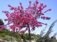 Bauhinia variegata, Phanera variegata, Orchid tree, Purple orchid tree, Mountain ebony, Poor Man's orchid