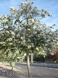 Bauhinia variegata Alba, Bauhinia variegata Candida, White orchid tree, White Mountain Ebony  Click to see full-size image