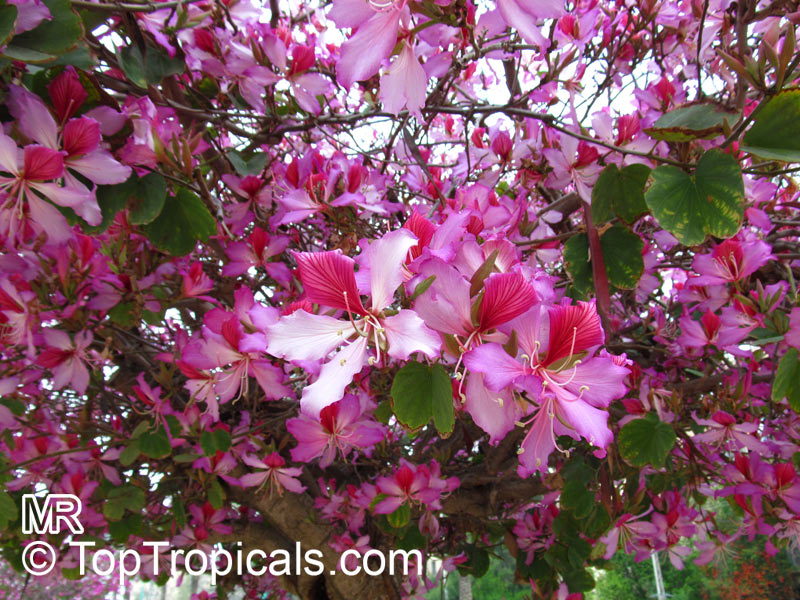 10 seeds Tree Orchids Pink Red Grain-Bauhinia variegata