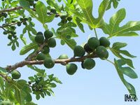 Ficus carica, Fig Tree, BrevoClick to see full-size image