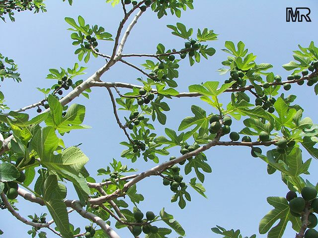 Ficus Carica Fig Tree Brevo Click To See Full Size Image