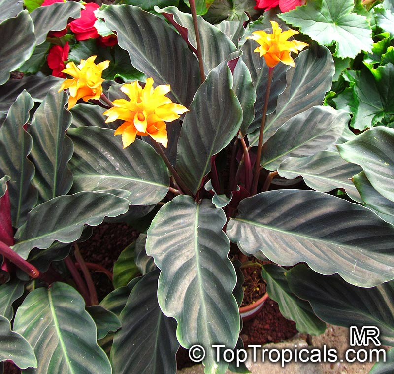 Garden Bush: Calathea Crocata, Eternal Flame