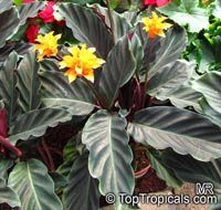 Calathea crocata, Eternal flame