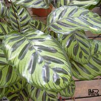 Calathea makoyana, Maranta makoyana, Peacock plantClick to see full-size image