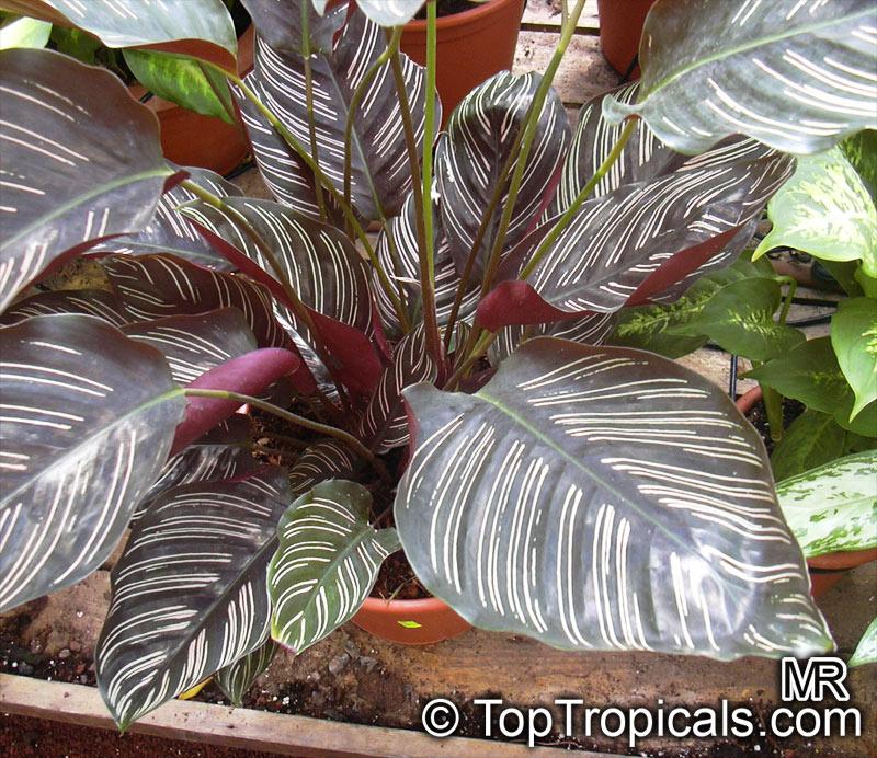Акант Acanthus растение уход фото виды