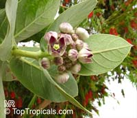 Calotropis procera, Swallow-Wort, Sedom Apple, Dead Sea Apple  Click to see full-size image