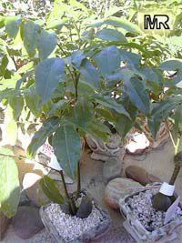 Castanospermum australe, Black Bean, Moreton Bay ChestnutClick to see full-size image
