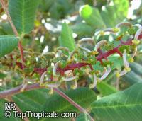Ceratonia siliqua, Carob, Algarroba, St. John's Bread, Locust Bean.Click to see full-size image