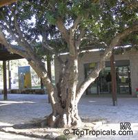 Ceratonia siliqua, Carob, Algarroba, St. John's Bread, Locust Bean, Chocolate Tree  Click to see full-size image