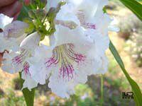Chitalpa taschkentensis, ChitalpaClick to see full-size image