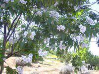 x Chitalpa tashkentensis, Chitalpa  Click to see full-size image