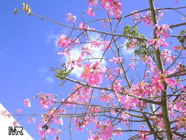 arbre sicilien inconnu, gros piquants, fleurs roses=chorisia - au