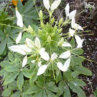 Cleome hasslerana, Cleome spinosa, Spider Flower, Crown FlowerClick to see full-size image