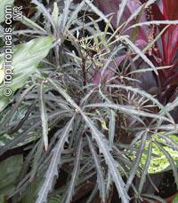 Plerandra elegantissima, Schefflera elegantissima, Aralia elegantissima, Dizygotheca elegantissima, False Aralia, Finger Aralia, Threadleaf  Click to see full-size image