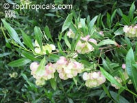 Dodonaea viscosa, Hopseed bush  Click to see full-size image
