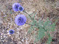 Echinops adenocaulos, Globe ThistleClick to see full-size image