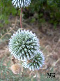 Echinops adenocaulos, Globe Thistle  Click to see full-size image