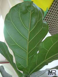 Ficus lyrata, Fiddle-Leaf Ficus  Click to see full-size image