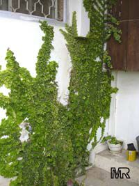 Ficus pumila (repens) - Climbing Fig, green leaves  Click to see full-size image