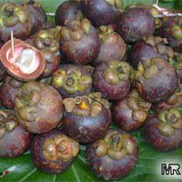 Garcinia mangostana, Mangosteen
