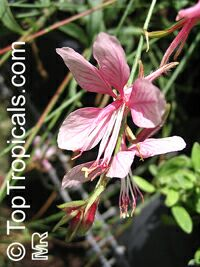 Gaura lindheimeri, White Butterfly, Whirling Butterfly  Click to see full-size image