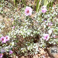 Gossypium sturtianum, Sturt's Desert Rose  Click to see full-size image