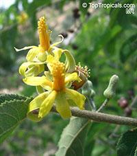 Grewia flavescens, Sandpaper Raisin  Click to see full-size image