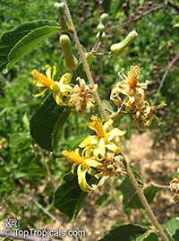 Grewia flavescens - seeds  Click to see full-size image