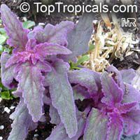Gynura aurantiaca, Purple Passion  Click to see full-size image