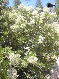 Heteromeles arbutifolia, Toyon, California-holly, Christmasberry  Click to see full-size image