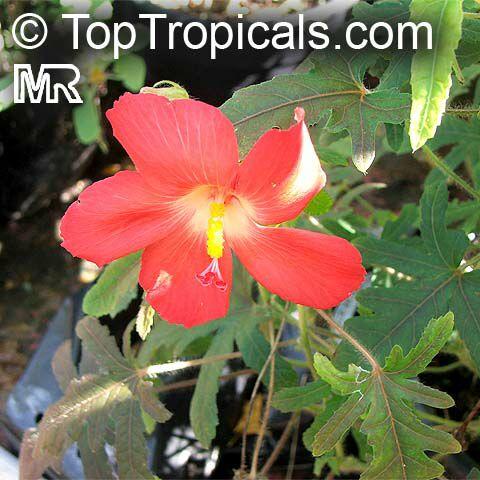hibiscus_sp2922.jpg
