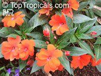 Impatiens x hawkeri, Impatiens New Guinea Hybrid, New Guinea Impatiens  Click to see full-size image
