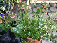 Kalanchoe uniflora, Kalanchoe ambrensis, Bryophyllum uniflorum, Kalanchoe  Click to see full-size image