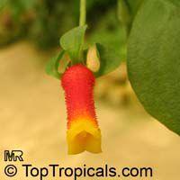Manettia luteorubra, Manettia bicolor, Manettia luteo-rubra, Manettia inflata, Candy Corn Vine, Cigar Flower, Firecracker Plant  Click to see full-size image