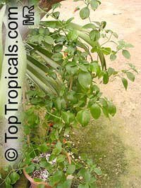 Manettia luteorubra, Manettia bicolor, Manettia luteo-rubra, Manettia inflata, Candy Corn Vine, Cigar Flower, Firecracker Plant, Click to see full-size image
