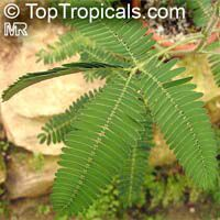 Mimosa pudica, Mimosa strigillosa, Sensitive Plant  Click to see full-size image