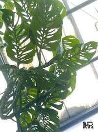 Monstera obliqua, Monstera friedrichsthalii , Monstera, Window Leaf, Swiss Cheese Philodendron  Click to see full-size image