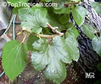 Morus sp., MulberryClick to see full-size image