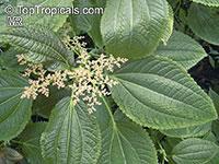 Pilea grandifolia, Aluminum Plant  Click to see full-size image