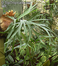 Platycerium - Stags Horn Fern  Click to see full-size image