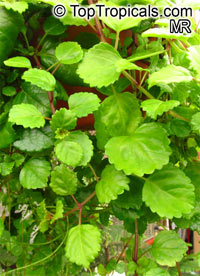 Plectranthus australis, Swedish Ivy  Click to see full-size image
