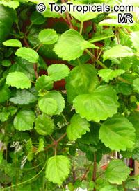 Plectranthus australis - Swedish Ivy