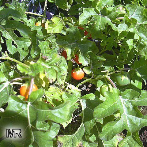 Solanum aculeatissimum...