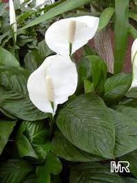 Spathiphyllum wallisii, Peace lily  Click to see full-size image