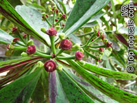 Synadenium compactum, Synadenium grantii, African Milk BushClick to see full-size image