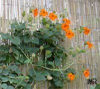 Thunbergia gregorii, Orange Clock Vine  Click to see full-size image