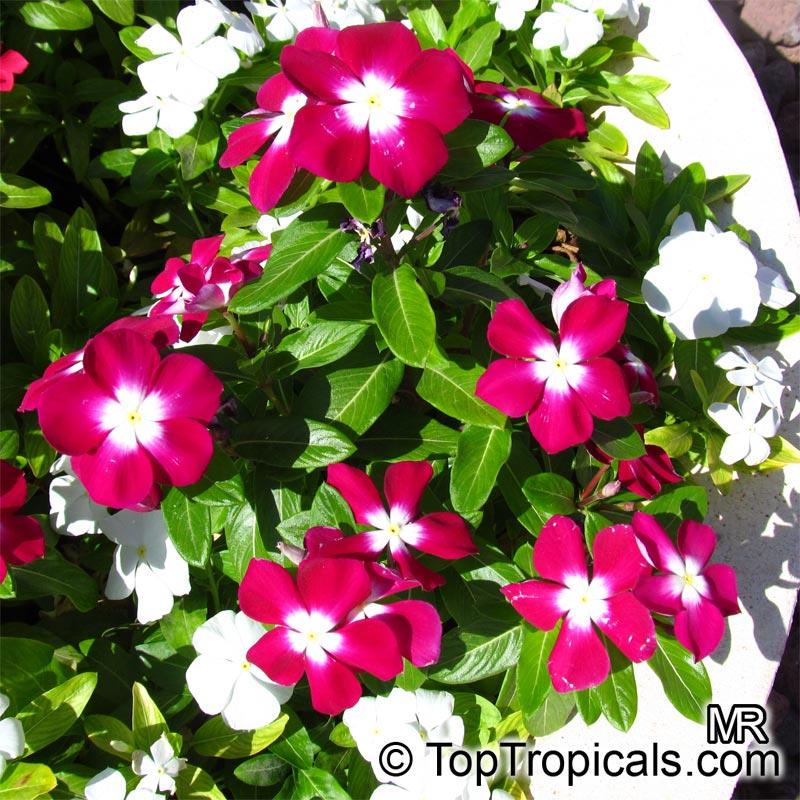 http://toptropicals.com/pics/garden/m1/raznozw/vinca_rosea5093.jpg