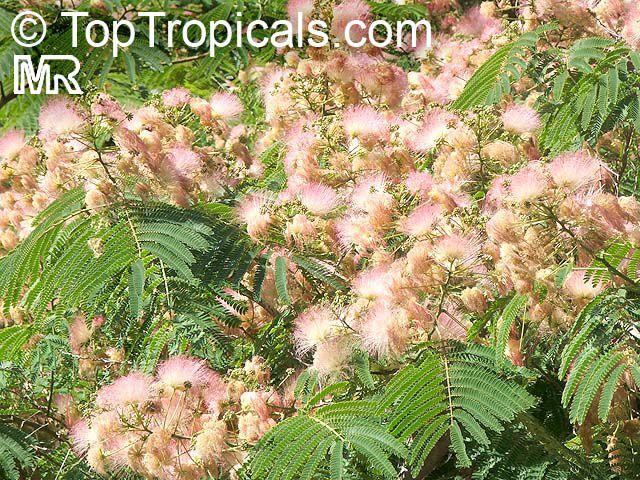 Albizia Julibrissin Silk Tree Click To See Full Size Image