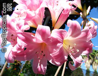 Amaryllis belladonna, Callicore rosea, Belladonna Lily, March Lily, Naked LadyClick to see full-size image